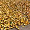瓜蒌皮价格-江苏昊林农业